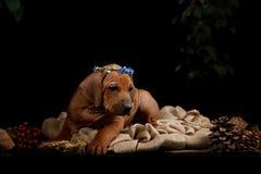Riposo del cane di Rhodesian Ridgeback Fotografia Stock Libera da Diritti
