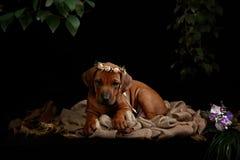 Riposo del cane di Rhodesian Ridgeback Immagini Stock Libere da Diritti