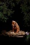 Riposo del cane di Rhodesian Ridgeback Immagine Stock Libera da Diritti