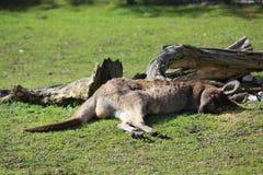 Riposo del canguro Fotografia Stock Libera da Diritti