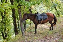 Riposo del cavallo di baia Immagine Stock