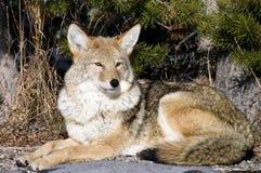 Riposo del coyote Fotografia Stock