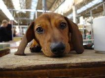 Riposo del cucciolo Immagini Stock Libere da Diritti