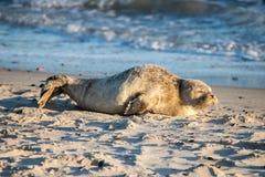 Riposo del cucciolo di foca Fotografia Stock Libera da Diritti