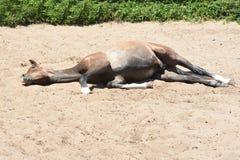 riposo del foal Fotografie Stock Libere da Diritti