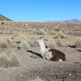 Riposo del lama Parco nazionale di Sajama, Bolivia Immagini Stock