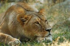 Lion Resting fotografia stock