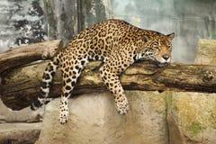 Riposo del leopardo Fotografia Stock