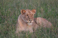 Riposo del Lioness Fotografia Stock Libera da Diritti
