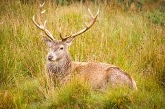 Riposo del maschio dei cervi rossi (elaphus del cervus) Fotografie Stock