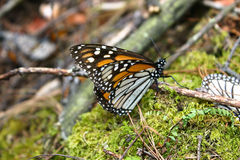 Riposo del monarca Fotografia Stock Libera da Diritti
