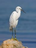Riposo del piccolo egret Immagine Stock