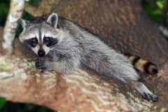 Riposo del Raccoon Immagini Stock Libere da Diritti