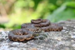 Riposo del serpente dei dadi Immagini Stock Libere da Diritti