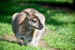 Riposo del wallaby di Bennett Fotografie Stock