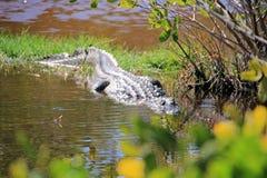 Riposo dell'alligatore americano Immagini Stock Libere da Diritti