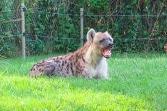 Riposo dell'iena Fotografia Stock