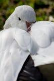 Riposo dell'oca polare immagini stock libere da diritti