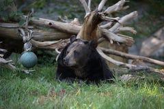 Riposo dell'orso nero Fotografie Stock Libere da Diritti