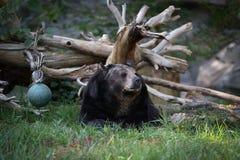 Riposo dell'orso nero Immagine Stock Libera da Diritti