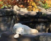 Riposo dell'orso polare Fotografia Stock