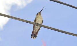 Riposo dell'uccello di ronzio Fotografie Stock
