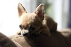 Riposo della chihuahua fotografia stock libera da diritti