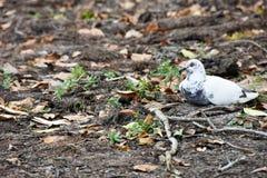 Riposo della colomba di bianco immagini stock