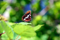 Riposo della farfalla Fotografia Stock Libera da Diritti