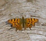 Riposo della farfalla di virgola Fotografia Stock