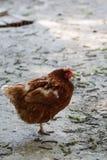 Riposo della gallina Fotografia Stock