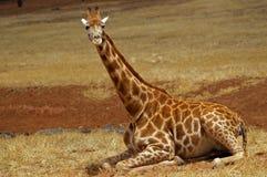 Riposo della giraffa del bambino Fotografie Stock