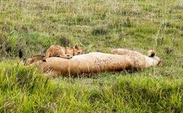 Riposo della leonessa Fotografia Stock