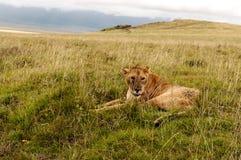 Riposo della leonessa Fotografia Stock Libera da Diritti