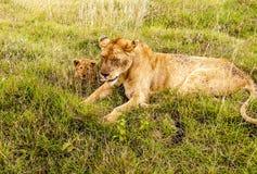 Riposo della leonessa Immagini Stock Libere da Diritti