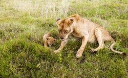 Riposo della leonessa Immagine Stock Libera da Diritti