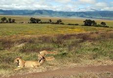 Riposo della leonessa Fotografie Stock Libere da Diritti