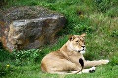 Riposo della leonessa Fotografie Stock