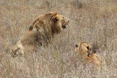 Riposo della leonessa e del leone fotografia stock libera da diritti