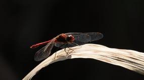 Riposo della libellula Immagine Stock