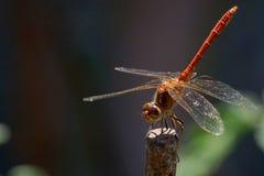 Riposo della libellula immagini stock