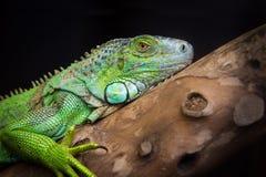 Riposo della lucertola dell'iguana Immagine Stock Libera da Diritti