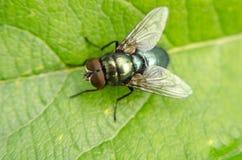 Riposo della mosca Fotografia Stock Libera da Diritti