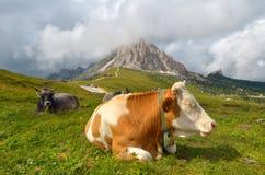 Riposo della mucca Fotografia Stock Libera da Diritti