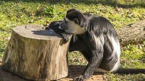 Riposo della scimmia di Colobus Immagini Stock