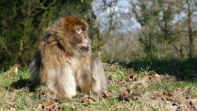 Riposo della scimmia di macaco di Barbary Immagine Stock Libera da Diritti