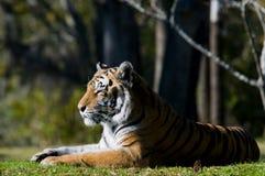 Riposo della tigre di Bengala Immagini Stock