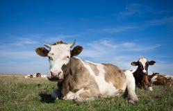Riposo delle mucche fotografia stock libera da diritti