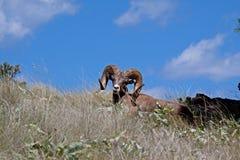 Riposo delle pecore del Big Horn Fotografia Stock Libera da Diritti
