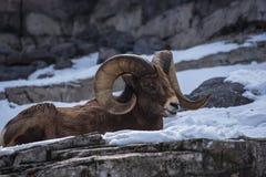Riposo delle pecore del Big Horn Immagine Stock